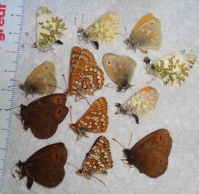 Lepidoptera 13 Mixed Vintage Butterflies Montana #I4 Butterfly Collection Glacie