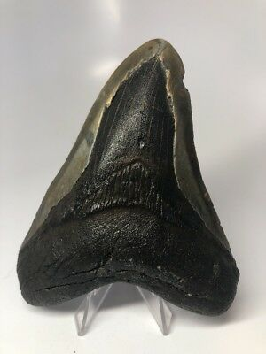 """Nice 5.09"""" Big Megalodon Fossil Shark Tooth Natural 2351"""