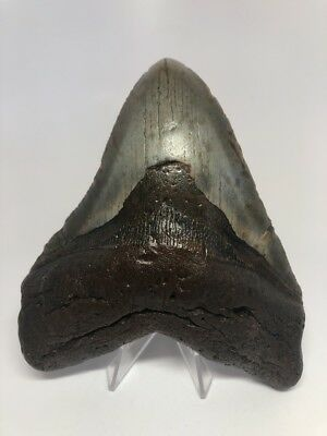 """Unique Curved 5.60"""" Big Megalodon Fossil Shark Tooth Rare 2322"""