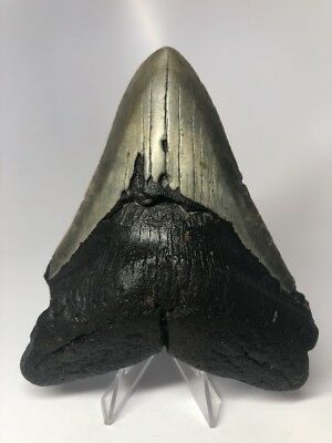 """Unique 5.10"""" Big Megalodon Fossil Shark Tooth Rare Wide 2349"""