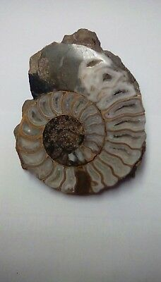 1036 Ammonite Section (Asteroceras) in Frodingham Ironside Scunthorpe