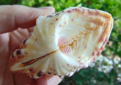 """HP3) Hippopus pair BEAR PAW GIANT CLAM 3-1/4"""" Shell Seashell Combined Shipping"""