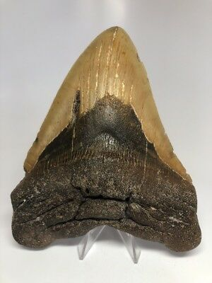 """Massive 6.48"""" REAL Megalodon Fossil Shark Tooth Rare Huge 2255"""