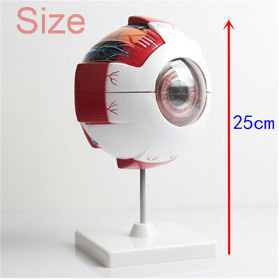 3D Anatomical Human Eyeball Eye Muscle Tissue Anatomy Assembly Artery Model