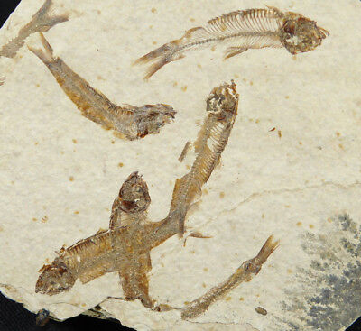 A School Of SIX! 100% Natural 50 Million Year Old Fossil Fish Wyoming 292gr e