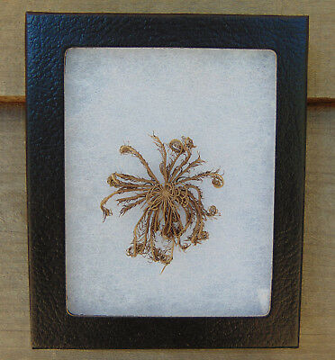 E306) Real Feather Star starfish 4X5 framed display exhibit sea lily crinoidea