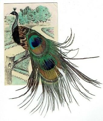 Old Novelty Postcard Peacock Applied / Applique Real Feathers Vintage 1905-10