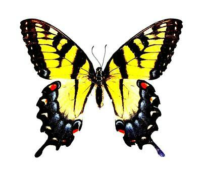 BUTTERFLY/MOTH/MOUNTED Texas Tiger Swallowtail PAPILIO GLAUCUS FEMALE
