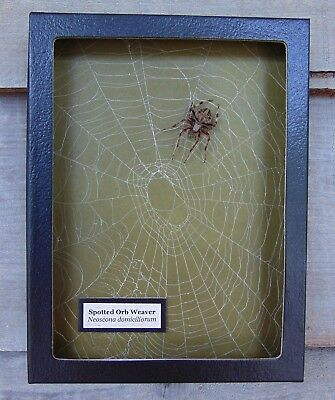 W2) Real Spotted Orb Weaver Spider on actual Web 6X8 framed shadowbox taxidermy