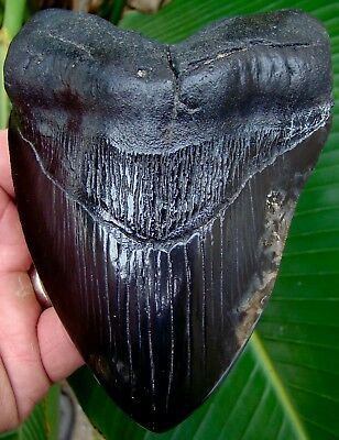 Megalodon Shark Tooth  5 & 1/16 in. JET BLACK -  REAL Fossil Sharks Teeth - JAW
