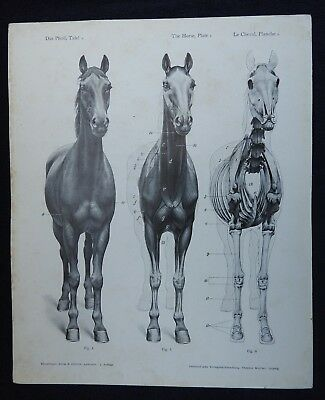 Early Atlas of Animal Anatomy for Artists, 3rd German ed; 20 Illus Plates; Horse