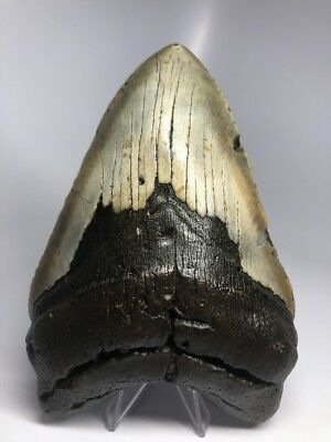 """Massive 6.36"""" Huge Megalodon Fossil Shark Tooth Rare Real 1879"""