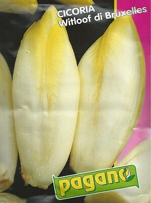 Cicoria Witloof di Bruxelles Chicory Seeds - 15 grams