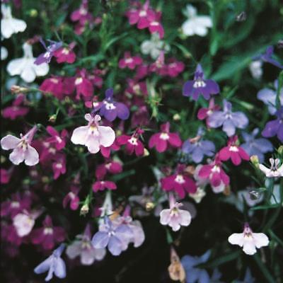 Pack Flower Seed Lobelia (Trailing) Colour Cascade Mixed Kings Garden Seeds