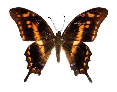 BUTTERFLY/MOTH/MOUNTED Arfak Swallowtail MEANDRUSA SCIRON