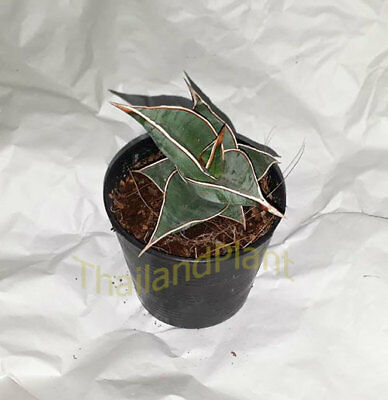 FREE Phytosanitary Certificate ##### #### 1 Bulb of DRIMIOPSIS MACULATA Plant