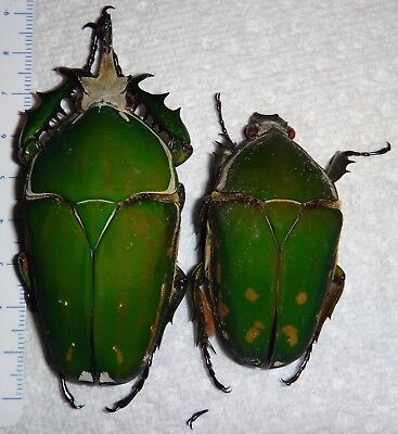 Cetoniidae Mecynorrhina torquata Pair 83mm Cameroon Africa Beetle Insect Bug
