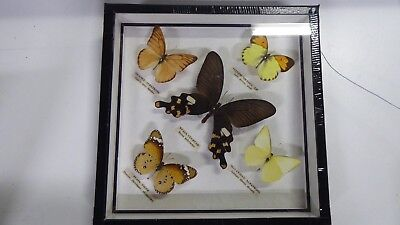Vintage Cased Framed Mounted Butterfly  Specimens Taxidermy Science Lab
