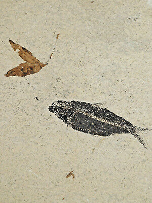 A 100%Natural 50 Million Year Old BEE LEAF & Fish Fossil in BIG Matrix! 2733gr e