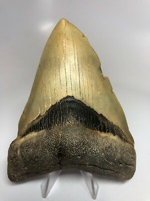 """Amazing 4.86"""" Megalodon Shark Tooth Fossil Rare Natural 2813"""