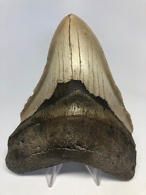 """Amazing 5.19"""" Real Megalodon Shark Tooth Fossil Rare Big 2843"""