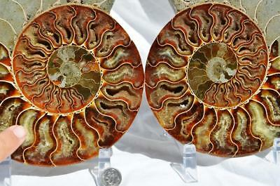 8627xx Cut Split PAIR Ammonite Deep Crystal Cavity 110myo Fossil 205mm XXXL 8.1""