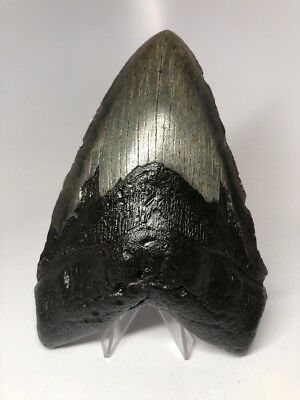 """Monster 6.19"""" Amazing Megalodon Shark Tooth Fossil Rare Big 2687"""