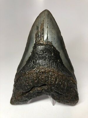 """Big 5.50"""" Rare Megalodon Fossil Shark Tooth REAL 2678"""