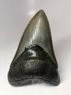 """Amazing Bourlette 5.22"""" Megalodon Fossil Shark Tooth Rare Big 2686"""