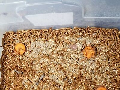 2000 mealworms live