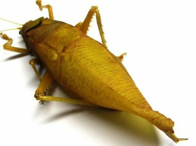 f003 Orthoptera species? 75.5mm A-********************************************