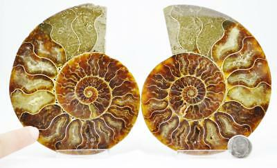 "7051 Fossil PAIR Ammonite Great Color Crystal Cavities XXLG 4.8"" 110myo 121mm"
