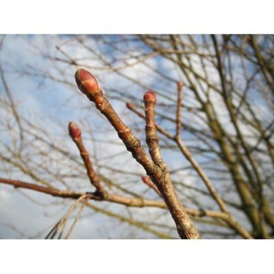 NEW LAMINATED POSTER Buds Twig Acer Platanoides Tree Flora Norway Maple Poster