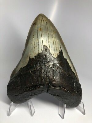 """Amazing 6.28"""" Huge Megalodon Fossil Shark Tooth Rare Real 1866"""
