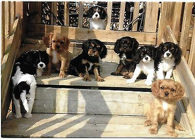 We are Waiting for You! Cavalier King Charles Spaniel Puppies blank Note Card