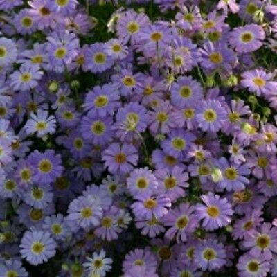 Kings Seeds - Brachycome Little Missy - 600 Seeds