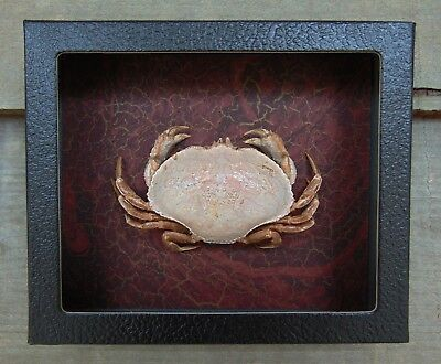 E517) Real CRAB framed mounted Taxidermy Display shellfish Combined Shipping USA