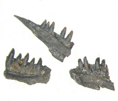 Permian Abyssomedon Parareptile jaw section fossil w/ teeth Richards Spur 1/bid