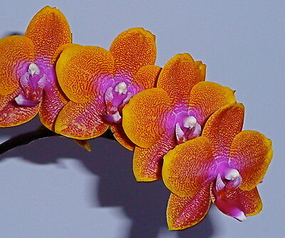 Phalaenopsis Eternal Sunrise Hybride NEW Orchidee Orchideen