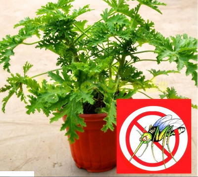 200++Mosquito/_Repelling/_Grass/_Mozzie Buster/_Sweetgrass/_Garden/_Home!FRESH /& HOT*!