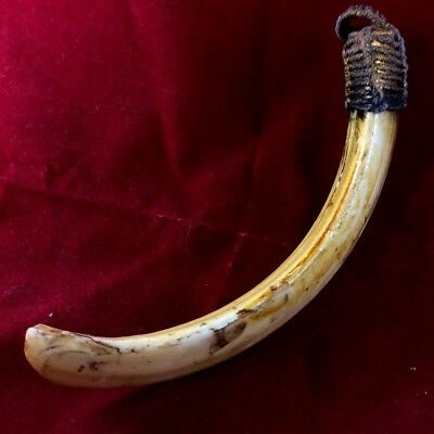 Old Thai Amulet Real Wild Pig Hog Solid Tooth Boar Teeth Power Powerful Protect