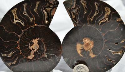 8672 RARE 1 in 100 BLACK Ammonite PAIR Crystals LARGE 162gm FOSSIL 92mm 3.6""
