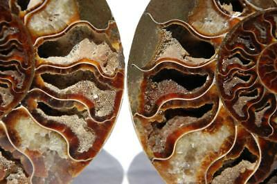 1631xx Cut Split PAIR Ammonite Deep Crystal Cavity 110myo Fossil 205mm XXLG 8.0""