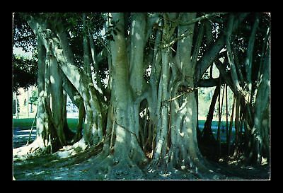 Dr Jim Stamps Us Banyan Tree Florida Chrome Topical View Postcard