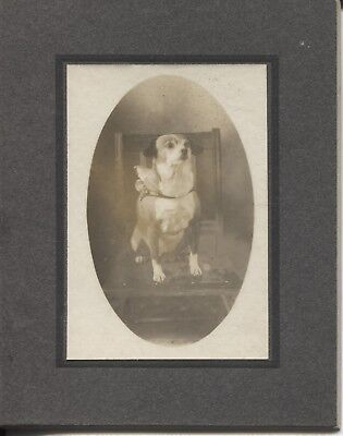 Cabinet Photo Dog with Collar on Chair c.1900