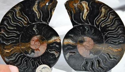 8678 RARE 1 in 100 BLACK Ammonite PAIR Crystals LARGE 172gm FOSSIL 90mm 3.5""