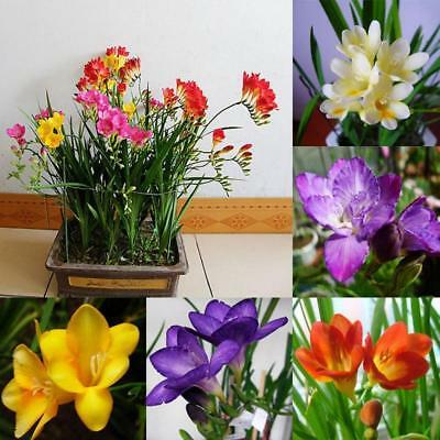 Freesia Seeds Potted Flowers Bonsai Home Garden Planting EN24H 01