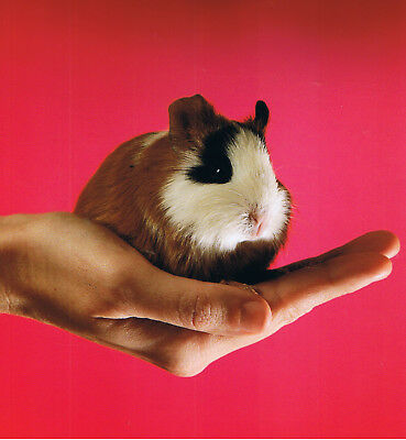 Guinea Pig in a hand,featured on a FRIDGE MAGNET