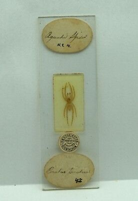 Antique MICROSCOPE Slide Aquatic PIRATE SPIDER by HWH Darlaston