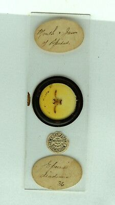 Antique MICROSCOPE Slide MOUTH & JAWS of SPIDER by HWH Darlaston